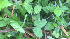 Slow motion hand touch and tickle mimosa pudica, sensitive plant Stock Footage