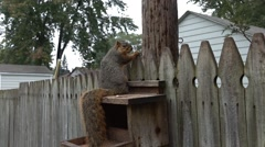 Zoom in for a closeup of fox squirrel at feeder Stock Footage