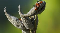 Orange Milkweed Bugs crawling on plant on rivers edge Stock Footage