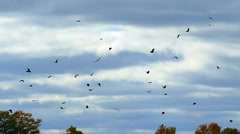 A murder of Crows flying ominously in slow motion Stock Footage