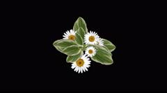 4k Clover bloom daisy flower plant vegetation leaf blade background. Stock Footage