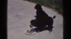 1962: pair of black dogs eating lunch on hot summer sidewalk YORBA LINDA Stock Footage
