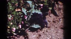 1962: small black dog in flower garden YORBA LINDA CALIFORNIA Stock Footage