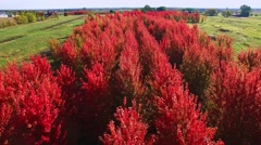 Bright red Autumn trees, low aerial drone flyover Stock Footage