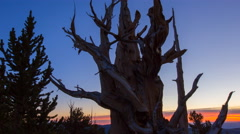MoCo Timelapse of Sunrise through Ancient Bristlecone Pine Tree -Zoom Out- Stock Footage