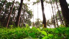 Pine tree forest in the morning,Pine tree forest tilt up camera angle Stock Footage