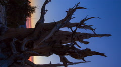 MoCo Timelapse of Sunrise through Ancient Bristlecone Pine Tree -Vertical Shot- Stock Footage