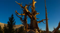 MoCo Timelapse of Ancient Bristlecone Pine Tree in Morning Sun -Zoom Out- Stock Footage