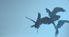 Pack of ravens. Stock Footage