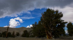 Timelapse of Cloudscape over Ancient Bristlecone Pine Tree -Pan Right- Stock Footage
