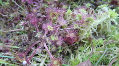 Drosera - sundew rack focus Stock Footage