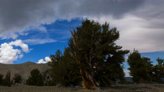 Timelapse of Cloudscape over Ancient Bristlecone Pine Tree -Pan Left- Stock Footage