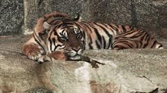 Sleeping tiger in Tierpark/Zoo, Berlin Stock Footage