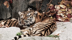 Two lying tigers cuddle and clean each other Stock Footage