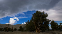 Timelapse of Cloudscape over Ancient Bristlecone Pine Tree  Stock Footage