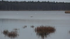 Wild geese and swans in the Slokas lake Stock Footage