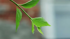 Close-up of branch of ivy on background of residential house from red brick. HD Stock Footage
