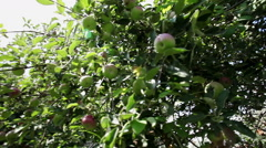 An old two-storeyed habitable house from brick. Apple tree with ripe apples. HD Stock Footage