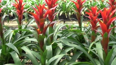A variety of bromeliad in the nursery, Thailand Stock Footage