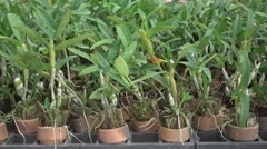 Orchid  sprout background in pots at nursery Stock Footage