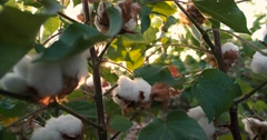 Dolly shot 4K, ripe, top quality cotton bolls on the green bushes, the glare of Stock Footage