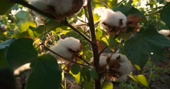 Dolly shot 4K, ripe, high-quality cotton in green bushes ready to harvest, the Stock Footage