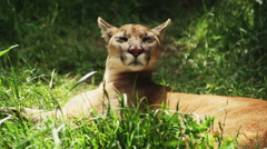 Puma sniffing the smell Stock Footage