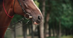 Thoroughbred race horse brown close-up face ,slow motion Stock Footage