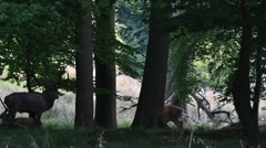 Red deer stag keeping large herd with hinds together in forest Stock Footage