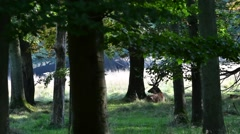 Solitary red deer (Cervus elaphus) stag with big antlers resting in forest Stock Footage