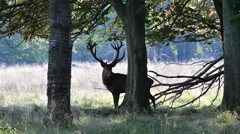 Solitary red deer stag with big antlers in forest in autumn Stock Footage