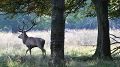 Red deer stag with big antlers walking from forest into clearing in autumn Stock Footage