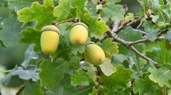 English oak / pedunculate oak tree (Quercus robur) acorns and leaves Stock Footage