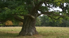 Centuries old English oak / pedunculate oak (Quercus robur) tree in meadow Stock Footage