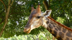 Tame Giraffe head Stock Footage