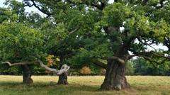 Centuries old English oak / pedunculate oaks (Quercus robur) trees in summer Stock Footage