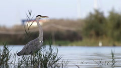 Grey heron in nature reserve in the province of Rome in Italy Stock Footage