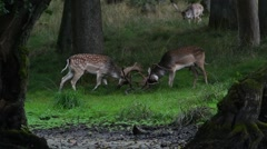 Two fallow deer bucks fighting by locking antlers in forest during rut Stock Footage