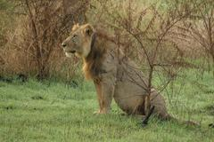 Old male lion with scars sit in the grass Stock Photos