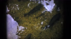 1959: carp lie at the bottom of a shallow pond with a mild current COLORADO Stock Footage