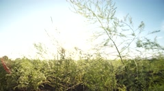 4K Video: Asparagus field in germany, europe Stock Footage