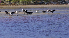 Crowd of crows search food on riverside beach Stock Footage