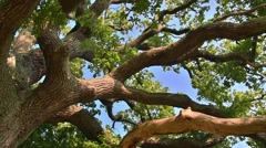 Rotating view of thick branches and foliage of centuries old English oak tree Stock Footage
