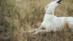 Russian hound on walk in a field in grass Stock Footage