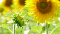 Unopened Sunflower Reaching To The Sun Stock Footage