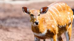 Sitatunga or Marshbuck (Tragelaphus spekii) Antelope In Central Africa Stock Photos