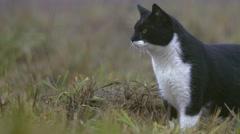 Wild cat looking around Stock Footage
