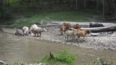 Group cow and white buffalo resting near the river. Stock Footage