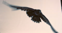 Flight of a black raven on a white background. Stock Footage