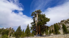 Timelapse of Cloud Formation over Ancient Bristlecone Pine Tree  Stock Footage